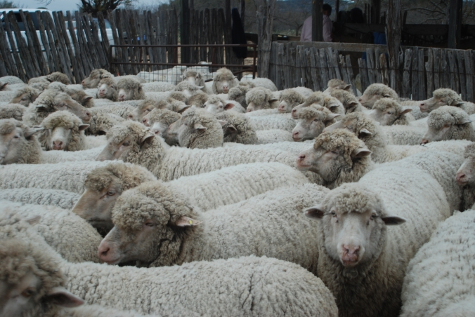 Lambs & Shearing '09005